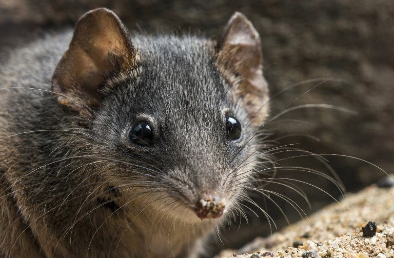 Too much sex puts Australia marsupials on endangered list