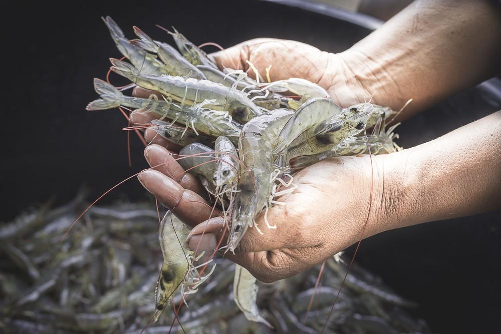S. Korea to inspect Vietnam firms after antibiotics residues detected in shrimp