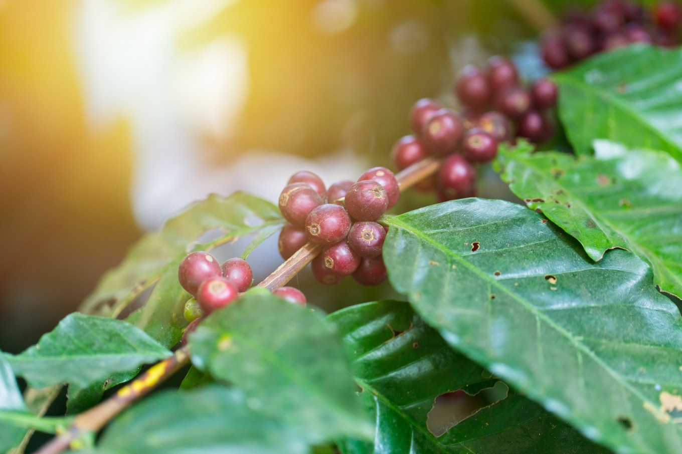 Costa Rica coffee farmers brew up a carbon neutral future