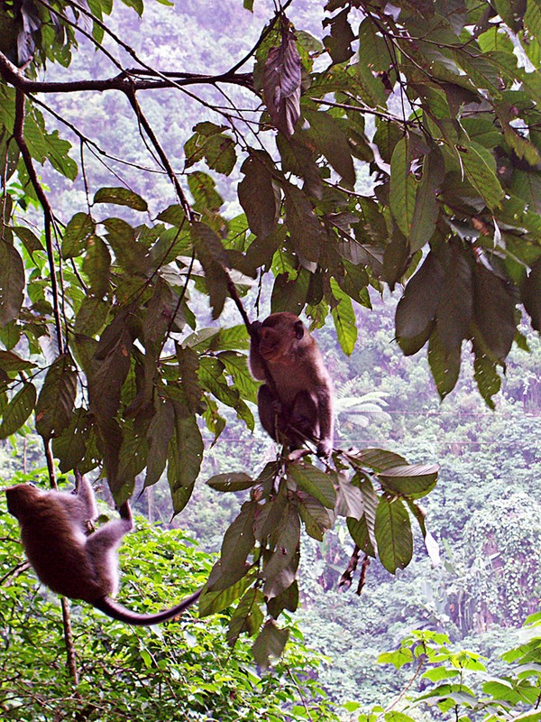 Canopy kings: Macaques hang out on a tree in Telaga Warna in Puncak, Bogor, West Java.