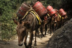 Horsepower: Mules carry canisters of liquefied petroleum gas to supply houses and lodges on the way to the EBC area. JP/ Adeline Sunarjo