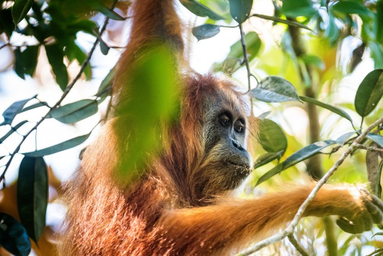 An adult female Tapanuli orangutan named Beta.