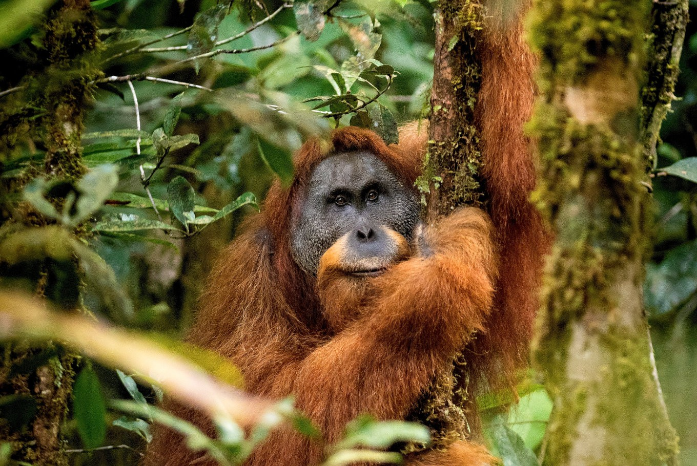 Tapanuli orangutan among 10 new species in 2018