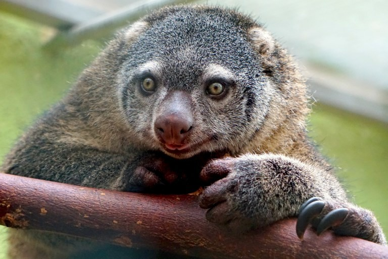 Rare Sulawesi bear cuscus born in captivity for first time