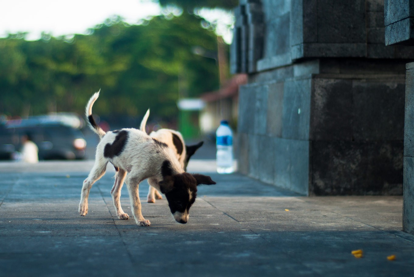 History of Bali dogs