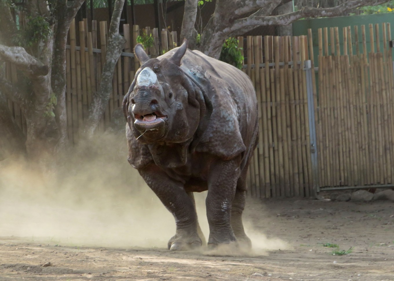 Batu Secret Zoo welcomes Indian rhino Bertus