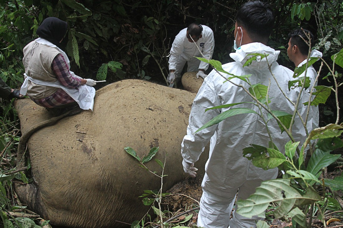 Elephant killed for ivory in East Aceh
