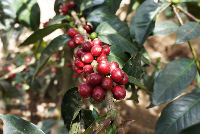 Sumatran coffee in a nutshell