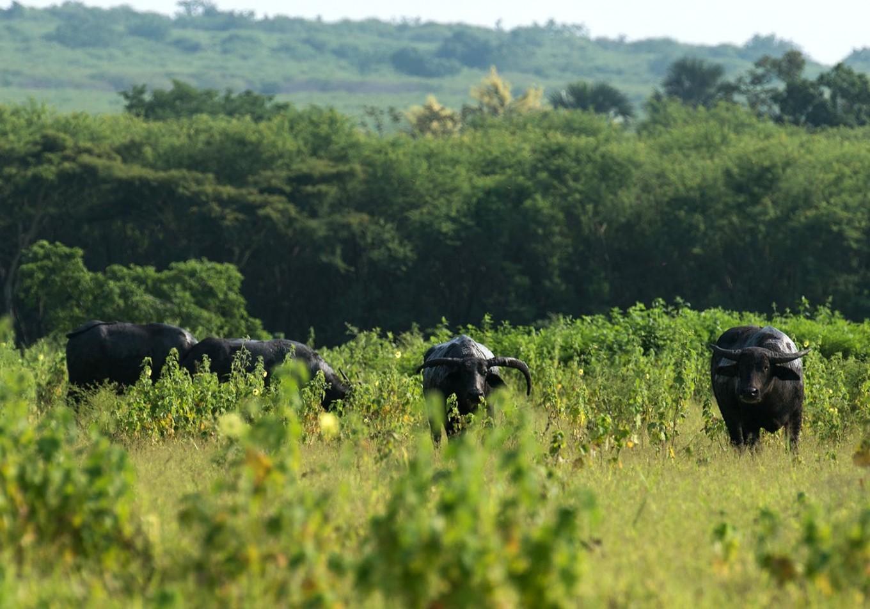 Javanese bulls graze in savanna bordering the forest. JP/Tarko Sudiarno