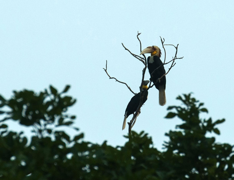 Two julang emas (wreathed hornbills) sit perched atop a tree. JP/Tarko Sudiarno