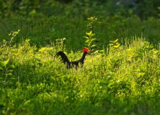 A wild chicken is seen in the forest. JP/Tarko Sudiarno