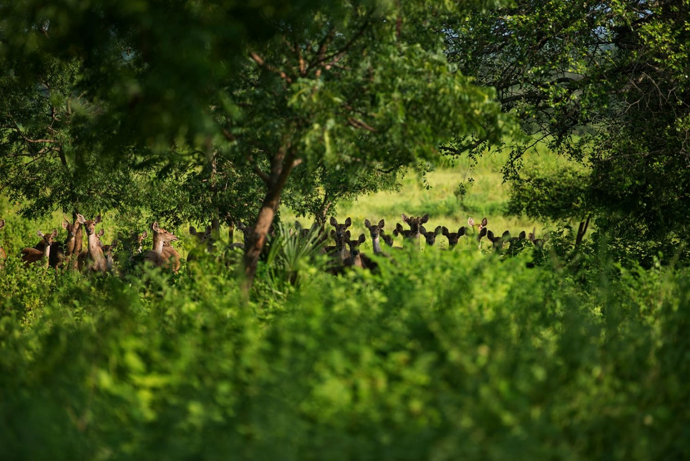 Dozens of deer stand together in the forest. JP/Tarko Sudiarno
