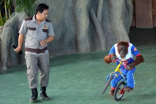 Cambodia strongman delights as orangutans dance and kickbox