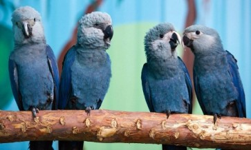 Dozens of last blue macaws to be reintroduced to Brazil