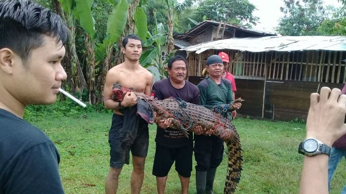 Jambi resident catches croc in river