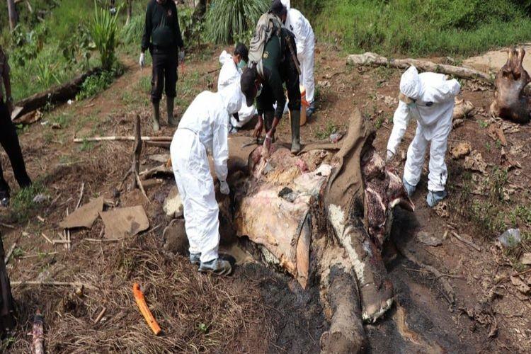 Female elephant found dead in Bengkulu