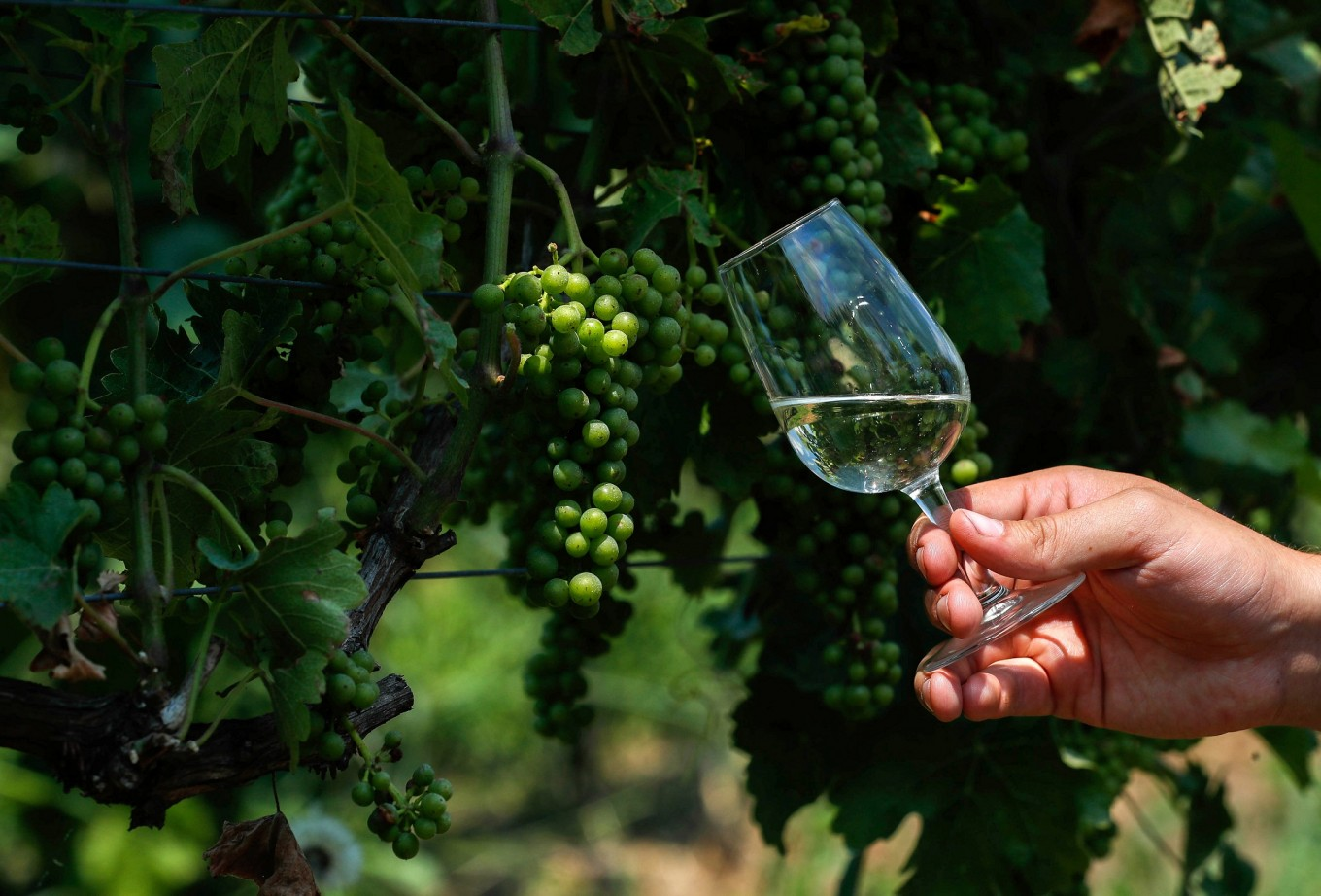 Climate change boosts wine production in beer-loving Belgium