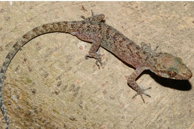 New species of gecko discovered in the jungles of South Sulawesi