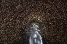 Black gold: The coffee beans from the harvest are washed with water after being peeled. JP/ Sigit Pamungkas