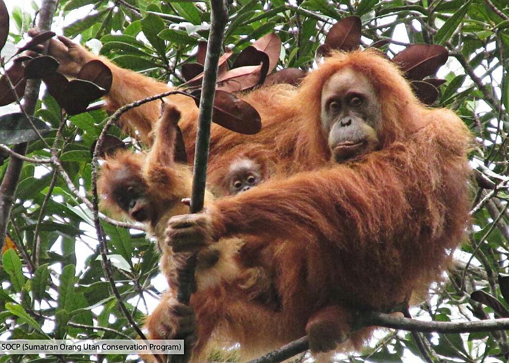 Batang Toru dam will affect orangutans and villagers: Walhi