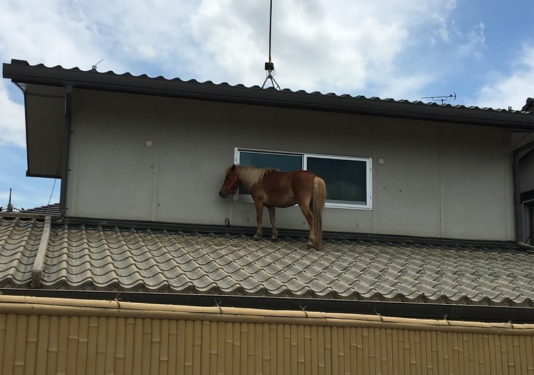 Miniature mare saved from Japan floods captures hearts