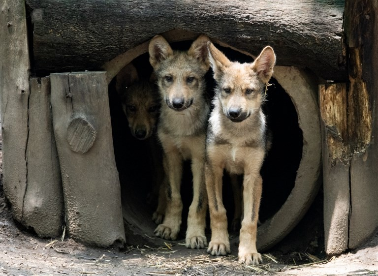 Eight wolf cubs the star attraction at Mexico City zoo