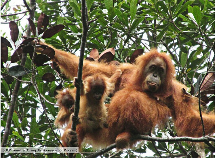 Rare sighting: Twin babies of the critically endangered Tapanuli orangutan species hang onto their mother in a tree in Batang Toru forest, North Sumatra. According to the Sumatran Orangutan Conservation Program (SOCP), twin births generally happen in captivity and rarely in the wild.