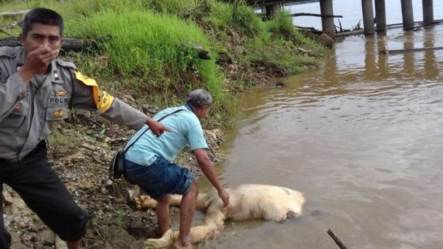 Local resident try to recover an orangutan's body on Jan. 15 from a river in Kalahien village in Buntok subdistrict. An autopsy found that the beheaded orangutang had been shot at least 17 times.