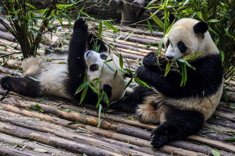 Pandas at the Chengdu Research Base of Giant Panda Breeding.