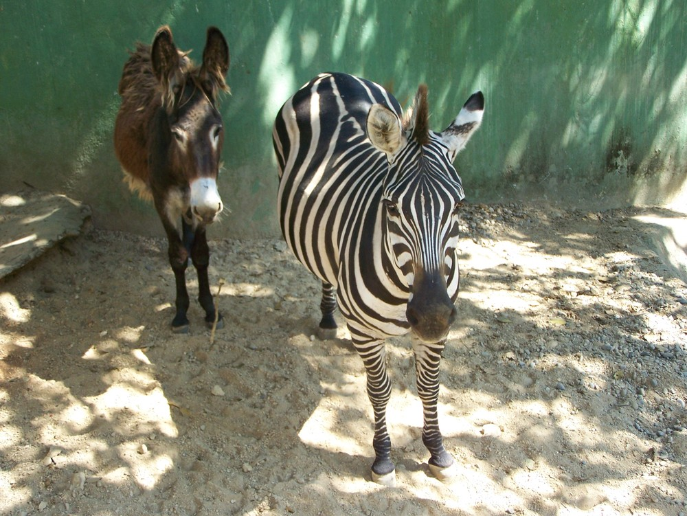 d12926130eeab Egyptian zoo gets called out for faking zebra with painted donkey ...