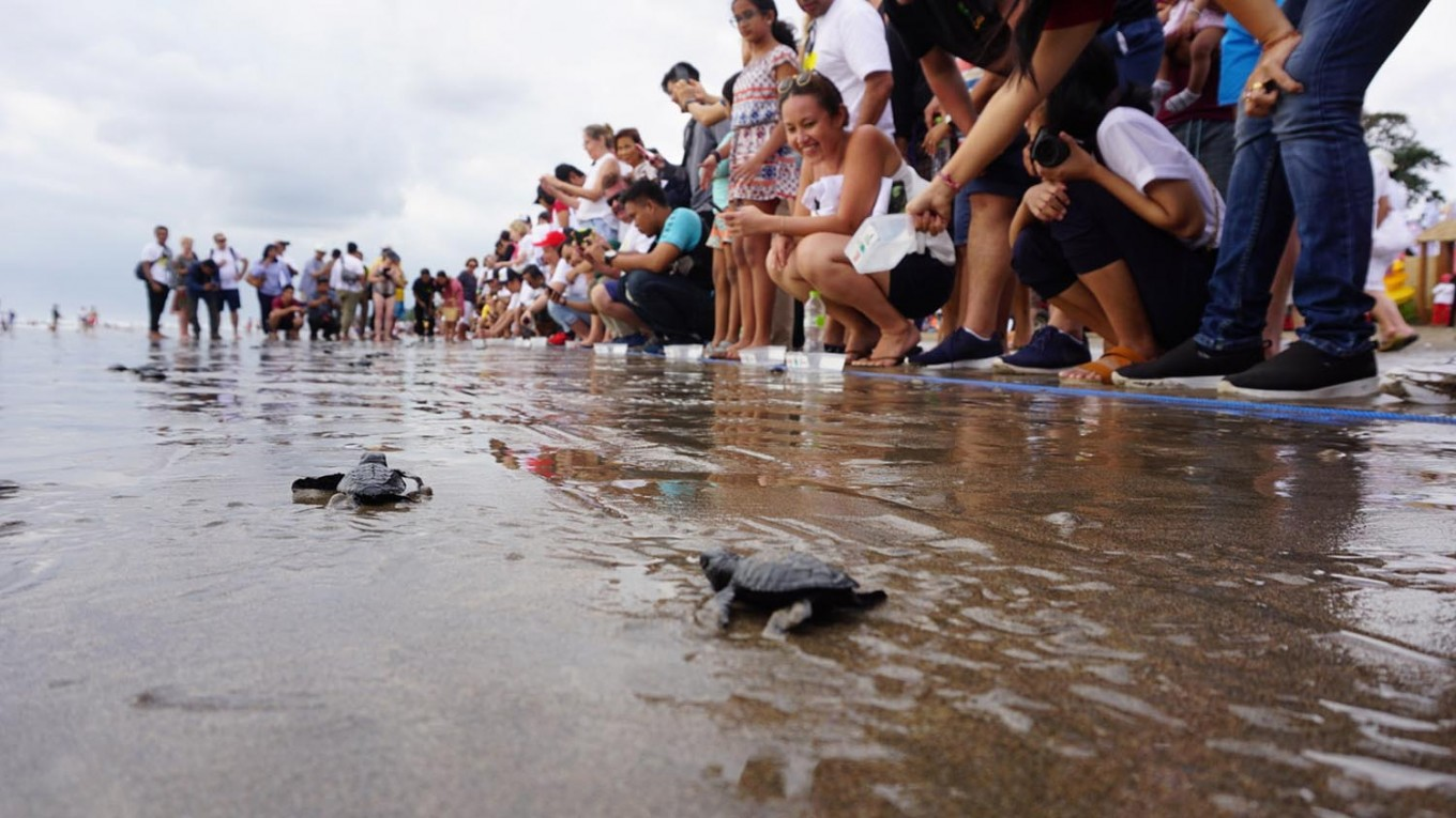 Baby green sea turtles are released into the ocean on Saturday, July 28, 2018 at Seminyak beach, Bali. Around 100 baby turtles were set free in the event, which is part of Bali's Big Eco Weekend invoving dozens of volunteers and participants. JP/Ni Komang Erviani