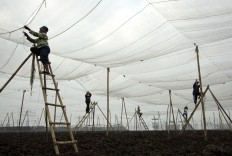 Workers prepare nets before the planting period of Vorstenlanden tobacco in Klaten, Central Java. The nets protect from pests and the sun.  JP/Magnus Hendratmo