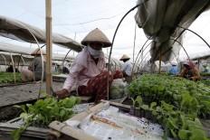 Workers sort Vorstenlanden tobacco plant seedlings before being planted. JP/Magnus Hendratmo