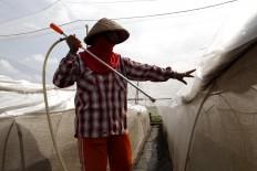 A worker sprays Vorstenlanden tobacco plant in Klaten. JP/Magnus Hendratmo