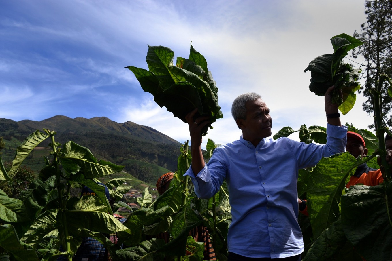 Central Java Governor Ganjar Pranowo marked the beginning of the harvest season with a tobacco picking ritual.