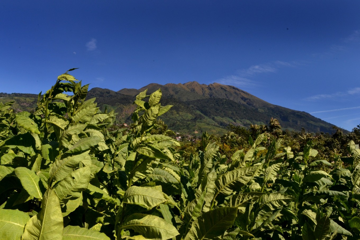 A tobacco plantation in Senden village, Selo district, Boyolali, Central Java.