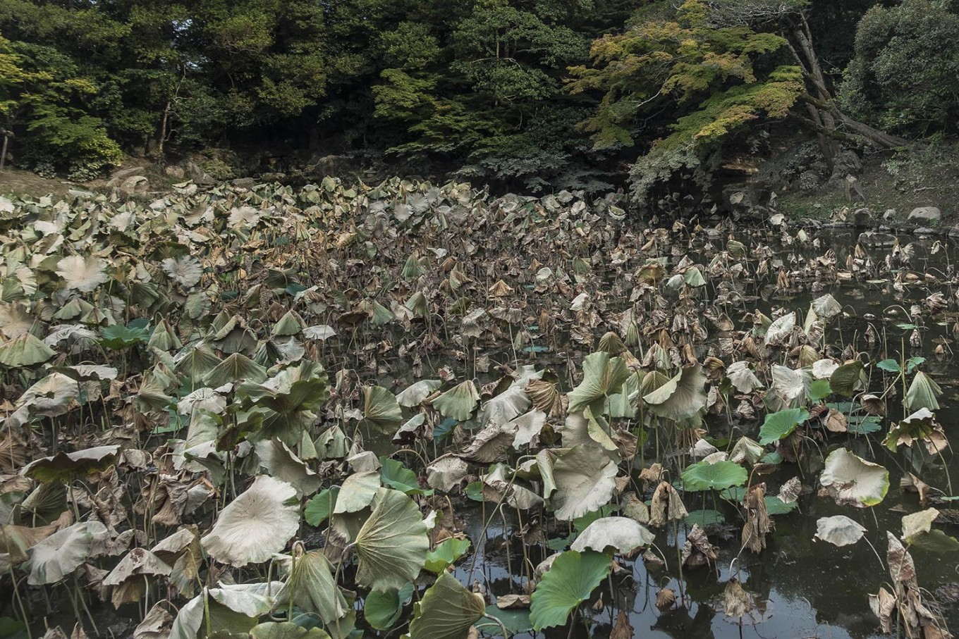 Lotus leaves in Korakuen Garden, Okayama, are withered during the summer. JP/Rosa Panggabean