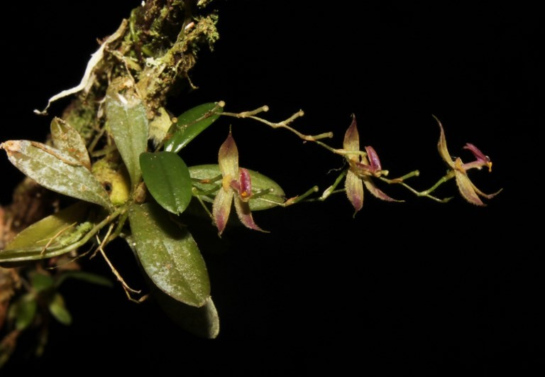 New species of orchid discovered in Peruvian jungle