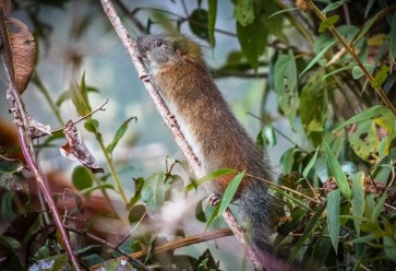 Rare 'bamboo rat' photographed at Machu Picchu