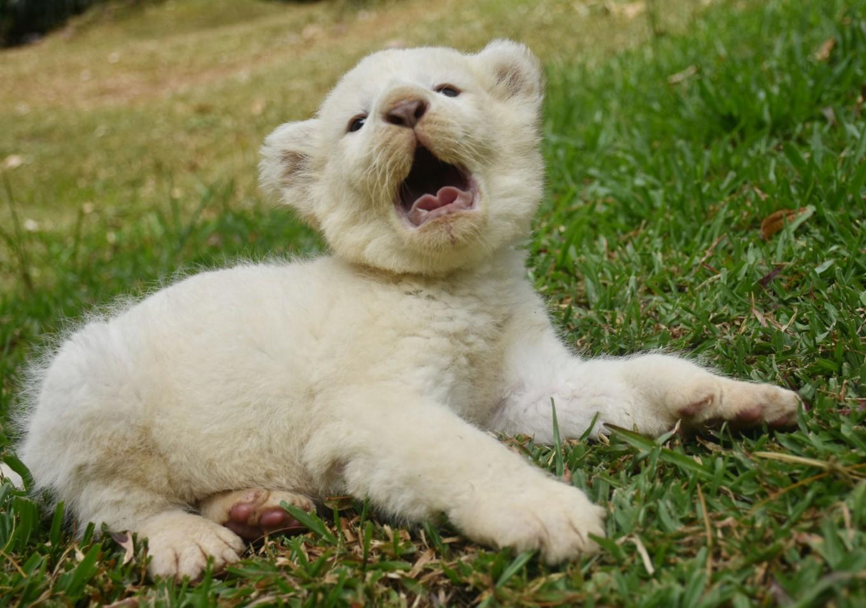 Pasuruan zoo welcomes birth of white lion cub