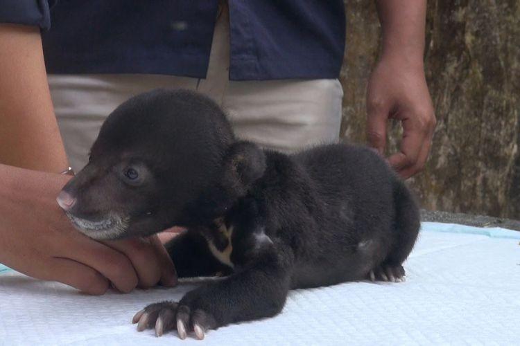 Juliet, sang beruang madu yang lahir pada bulan Juli di kebun binatang Serulingmas, Banjarnegara | Foto: Iqbal Fahmi / Kompas