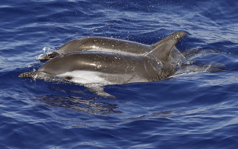 Unfit for porpoise: Naughty dolphin causes French beach ban