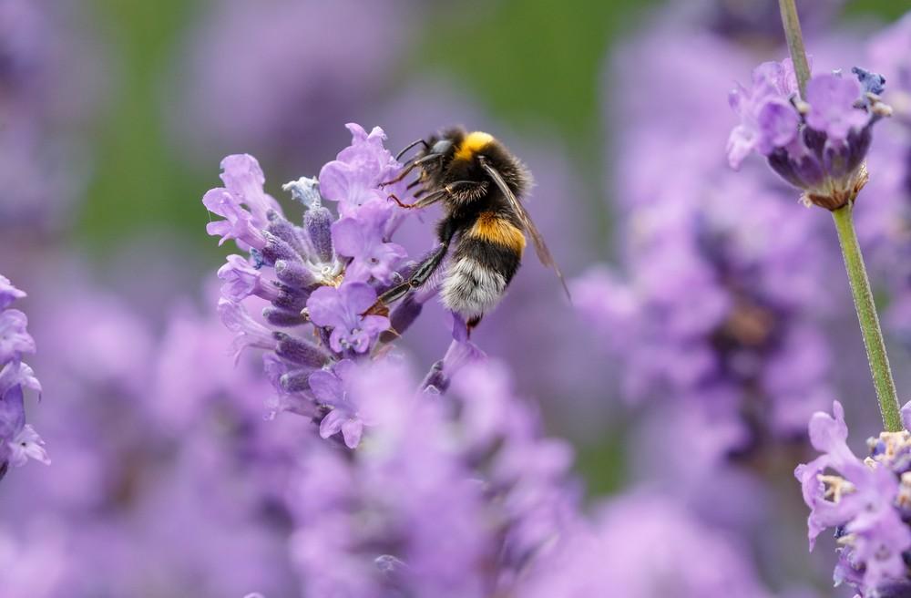 Das Ausspähen von Bienen zeigt, dass Pestizide das soziale Verhalten beeinträchtigen - Umwelt
