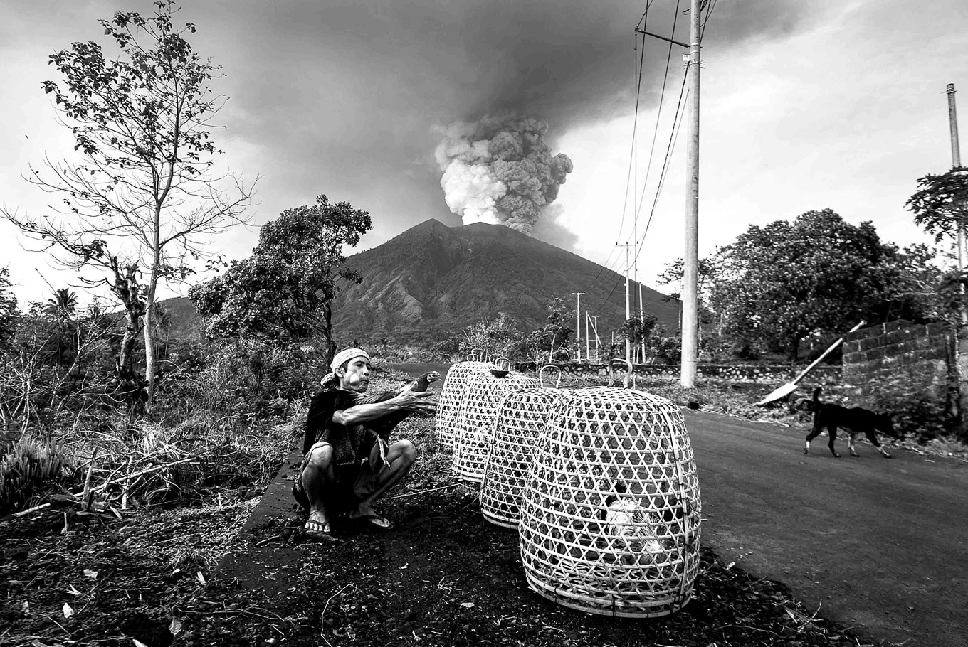 Business as usual: A Balinese man caresses his rooster with the rumblings of Mount Agung behind backdrop in a photograph by Wayan Sukarma.