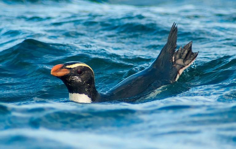 The incredible marathon of New Zealand Tawaki penguins