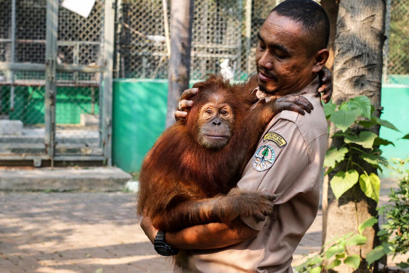 An orangutan named Otan at the Tegal Alur Animal Conservation, Jakarta, in July 2018, about to be translocated to the Foundation for Sustainable Ecosystem - Sumatran Orangutan Conservation Program. (Antara/Rivan Awal Lingga)