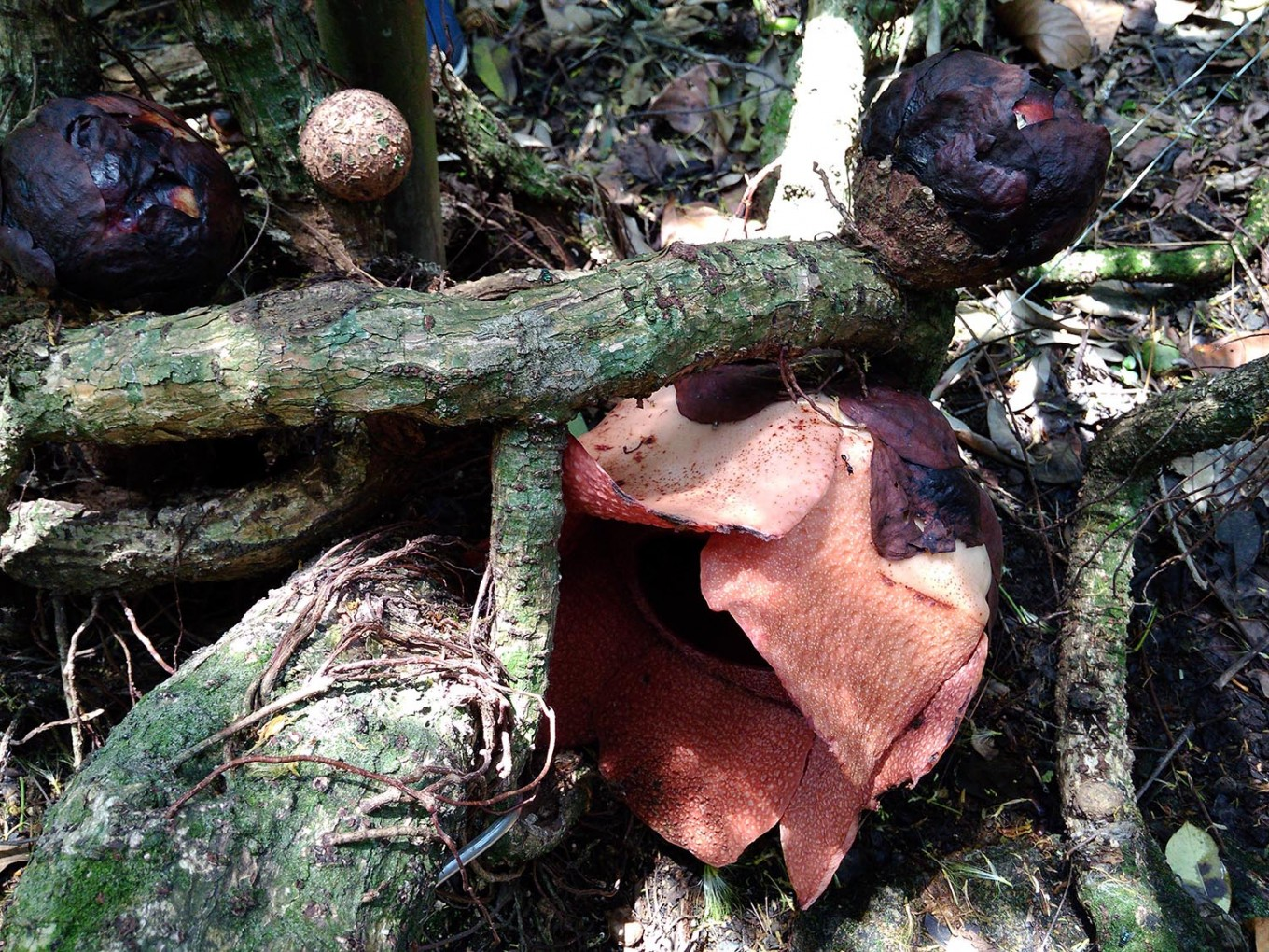 Rafflesia flower blooms at Bogor Botanical Garden