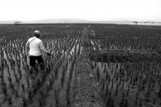 A farmer fertilizes his paddy fields. JP/Maksum Nur Fauzan