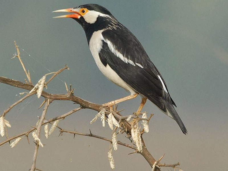 Three songbirds removed from new protected list