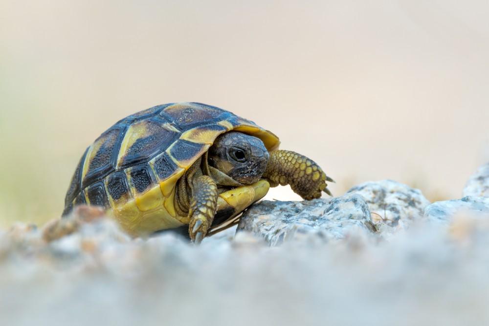 Dozens of rare Hermann's tortoises stolen in Corsica